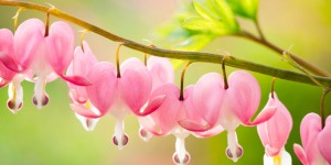 bleeding_heart_3_-_shutterstock
